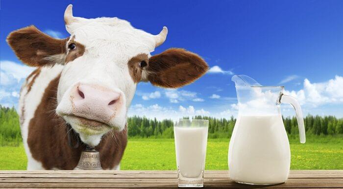 Không nên uống sữa bò sau khi vừa vắt xong vì rất dễ bị nhiễm khuẩn